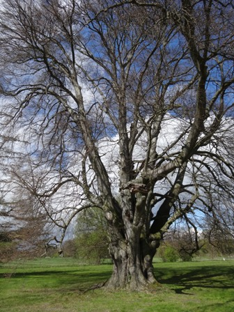Champion Tree 2016: Fagus sylvatica