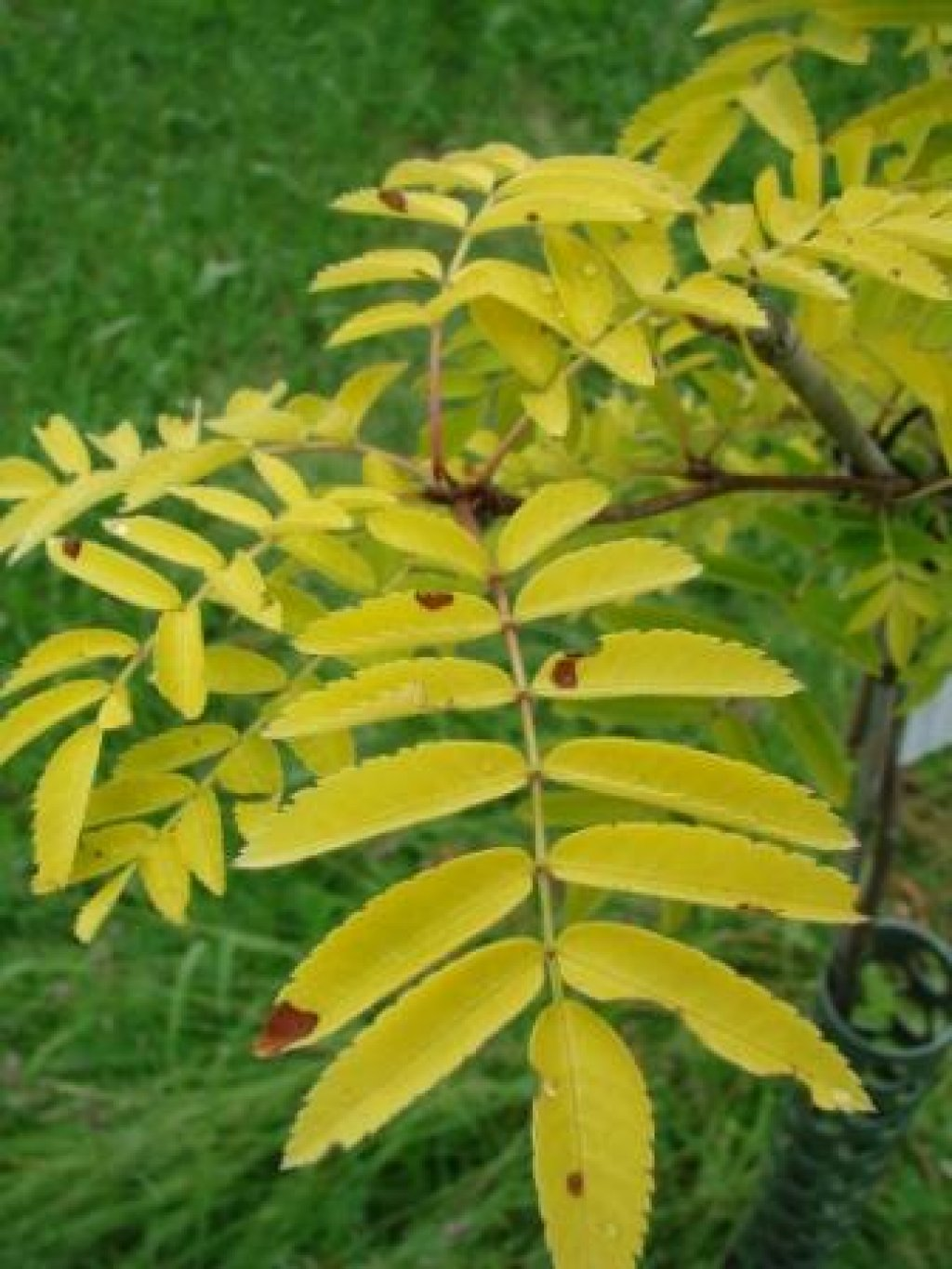 Sorbus aucuparia Axelvold.jpg
